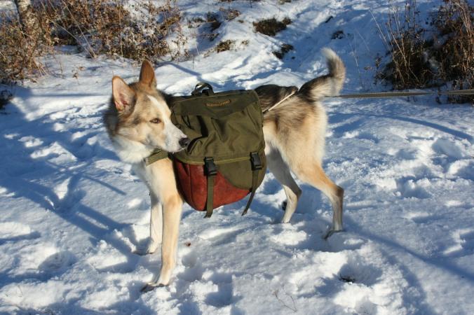 Alaska husky, her representert ved min egen Emre en dag han bar kløv. Den er av typen Togo og kommer fra Seleverkstedet.