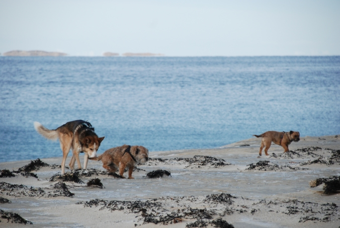 En alaskahusky og to borderterriere var veldig glade for at det ikke var folk, dyr eller båndtvang på stranda denne formiddagen!